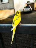 όμορφο διάνυσμα απεικόνισης πουλιών κίτρινο Στοκ Εικόνες