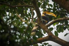 Όμορφο διακυβευμένο μεγάλο hornbill σε ένα δέντρο σε Kaziranga Στοκ φωτογραφίες με δικαίωμα ελεύθερης χρήσης