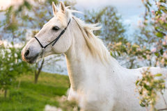όμορφο διανυσματικό λευκό απεικόνισης αλόγων Στοκ εικόνα με δικαίωμα ελεύθερης χρήσης