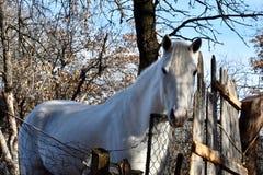 όμορφο διανυσματικό λευκό απεικόνισης αλόγων Στοκ Φωτογραφίες
