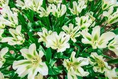 όμορφο διανυσματικό λευκό τουλιπών απεικόνισης Άνοιξη Tulipa πράσινη Λουλούδι Keukenhof Στοκ φωτογραφίες με δικαίωμα ελεύθερης χρήσης