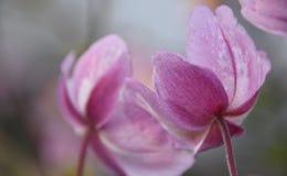 Όμορφο ιαπωνικό Anemone Στοκ Εικόνα