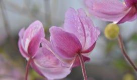 Όμορφο ιαπωνικό Anemone Στοκ φωτογραφίες με δικαίωμα ελεύθερης χρήσης