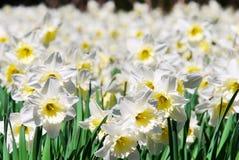 Άνθιση daffodils Στοκ Φωτογραφίες
