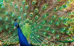 Όμορφο ινδικό Peafoul Στοκ Φωτογραφίες
