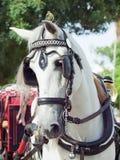 όμορφο ισπανικό λευκό πορτρέτου αλόγων μεταφορών Στοκ εικόνες με δικαίωμα ελεύθερης χρήσης
