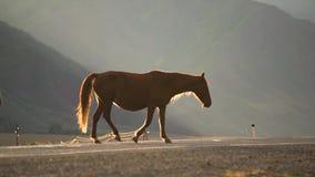 Όμορφο ισχυρό σκοτεινό καφετί άλογο επιβητόρων να κοιτάξει στον τομέα στα βουνά στο ζαλίζοντας χρυσό βράδυ ηλιοβασιλέματος απόθεμα βίντεο