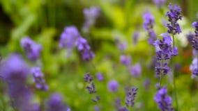 Όμορφο ιταλικό lavender στο κρεβάτι λουλουδιών στον κήπο απόθεμα βίντεο