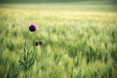 Όμορφο ιώδες άνθος του κάρδου βαμβακιού acanthium Onopordum, σκωτσέζικος κάρδος, εγκαταστάσεις λουλουδιών κάρδων γαιδάρων ενάντια στοκ εικόνες