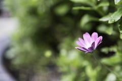 Όμορφο ιώδες λουλούδι στο πράσινο υπόβαθρο Στοκ Φωτογραφία