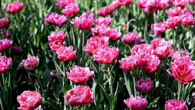 Όμορφο ιώδες ροζ τουλιπών θερινών λουλουδιών φιλμ μικρού μήκους