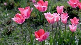 Όμορφο ιώδες ροζ τουλιπών θερινών λουλουδιών απόθεμα βίντεο