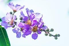Όμορφο ιώδες χρώμα myrtle υφάσματος κρεπ της βασίλισσας του λουλουδιού στο θολωμένο υπόβαθρο στοκ φωτογραφίες με δικαίωμα ελεύθερης χρήσης