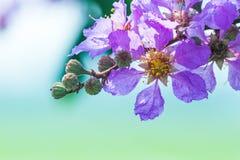 Όμορφο ιώδες χρώμα myrtle υφάσματος κρεπ της βασίλισσας του λουλουδιού στο θολωμένο υπόβαθρο στοκ εικόνες με δικαίωμα ελεύθερης χρήσης