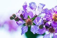 Όμορφο ιώδες χρώμα myrtle υφάσματος κρεπ της βασίλισσας του λουλουδιού στο θολωμένο υπόβαθρο στοκ φωτογραφία