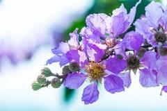 Όμορφο ιώδες χρώμα myrtle υφάσματος κρεπ της βασίλισσας του λουλουδιού στο θολωμένο υπόβαθρο στοκ εικόνα