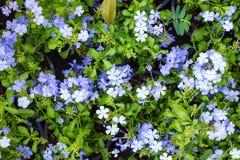 Όμορφο ιώδες ακρωτήριο σύστασης υποβάθρου λουλουδιών leadwort Στοκ Εικόνες