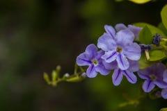 Όμορφο ιώδες υπόβαθρο λουλουδιών Στοκ Φωτογραφία