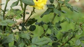 Όμορφο κίτρινο άνθος τριαντάφυλλων στο κρησφύγετο φιλμ μικρού μήκους