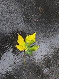 Όμορφο κίτρινο και πράσινο φύλλο δέντρων σφενδάμνου Στοκ Εικόνες