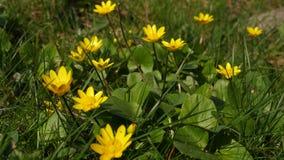 Όμορφο κίτρινο λουλούδι άνοιξη altha Ð ¡ στο χορτοτάπητα απόθεμα βίντεο