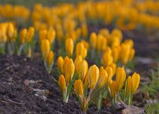 Όμορφο κίτρινο λουλούδι κρόκων πρώιμη άνοιξη λουλουδιών Στοκ Εικόνα