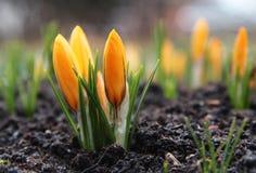 Όμορφο κίτρινο λουλούδι κρόκων πρώιμη άνοιξη λουλουδιών Στοκ Φωτογραφίες