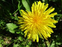 Όμορφο κίτρινο λουλούδι blowball Στοκ Φωτογραφία