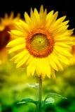 Όμορφο κίτρινο λουλούδι του ηλίανθου Στοκ φωτογραφίες με δικαίωμα ελεύθερης χρήσης