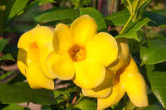 Όμορφο κίτρινο λουλούδι Allamanda στην ηλιοφάνεια Στοκ Εικόνες
