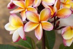 Όμορφο κίτρινο πορτοκαλί και ρόδινο plumeria ή frangipani β λουλουδιών Στοκ Φωτογραφία
