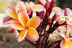 Όμορφο κίτρινο πορτοκαλί και ρόδινο plumeria ή frangipani β λουλουδιών Στοκ φωτογραφίες με δικαίωμα ελεύθερης χρήσης