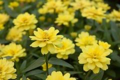 Όμορφο κίτρινο υπόβαθρο τομέων λουλουδιών Στοκ Εικόνες