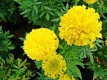 Όμορφο κίτρινο marigold με τα πράσινα φύλλα στον κήπο Στοκ φωτογραφίες με δικαίωμα ελεύθερης χρήσης