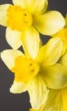 Όμορφο κίτρινο mimosa Στοκ Φωτογραφίες