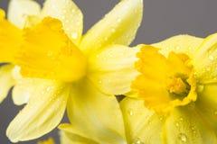 Όμορφο κίτρινο mimosa Στοκ εικόνα με δικαίωμα ελεύθερης χρήσης