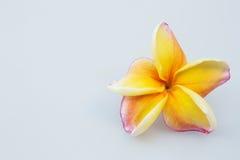 Όμορφο κίτρινο plumeria Στοκ εικόνα με δικαίωμα ελεύθερης χρήσης