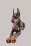 Όμορφο και βασιλικό doberman μαύρο σκυλί που κοιτάζει με τα άφοβα μάτια Στοκ Φωτογραφίες