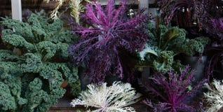 Όμορφο και ζωηρόχρωμο διακοσμητικό κατσαρό λάχανο Στοκ Φωτογραφίες