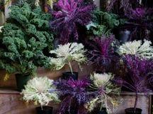 Όμορφο και ζωηρόχρωμο διακοσμητικό κατσαρό λάχανο Στοκ Φωτογραφία