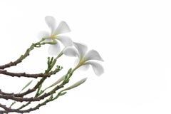 Όμορφο και μαλακό άσπρο λουλούδι Frangipani ή Plumeria που απομονώνεται Στοκ Φωτογραφίες