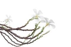 Όμορφο και μαλακό άσπρο λουλούδι Frangipani ή Plumeria που απομονώνεται Στοκ φωτογραφία με δικαίωμα ελεύθερης χρήσης