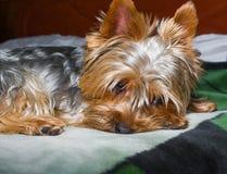 Όμορφο κατοικίδιο ζώο παιχνιδιού τεριέ του Γιορκσάιρ, φιλικός, παιχνίδι, σκυλί, κήπος, σκυλάκι Στοκ φωτογραφία με δικαίωμα ελεύθερης χρήσης