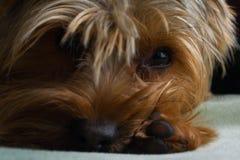 Όμορφο κατοικίδιο ζώο παιχνιδιού τεριέ του Γιορκσάιρ, φιλικός, παιχνίδι, σκυλί, κήπος, σκυλάκι Στοκ Φωτογραφία