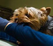 Όμορφο κατοικίδιο ζώο παιχνιδιού τεριέ του Γιορκσάιρ, φιλικός, παιχνίδι, σκυλί, κήπος, σκυλάκι Στοκ Φωτογραφίες