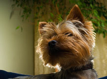 Όμορφο κατοικίδιο ζώο παιχνιδιού τεριέ του Γιορκσάιρ, φιλικός, παιχνίδι, σκυλί, κήπος, σκυλάκι Στοκ εικόνες με δικαίωμα ελεύθερης χρήσης