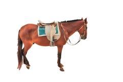 Όμορφο καφετί άλογο Στοκ εικόνες με δικαίωμα ελεύθερης χρήσης