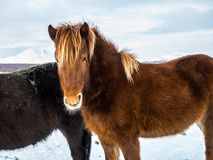 Όμορφο καφετί μακρυμάλλες ισλανδικό άλογο Στοκ Εικόνα