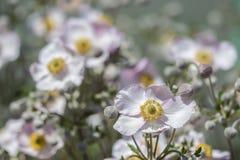 Όμορφο καλλιεργημένο hupehensis Anemone εγκαταστάσεων Στοκ Φωτογραφίες