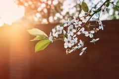 όμορφο κεράσι ανθών Υπόβαθρο με τα λουλούδια την ημέρα άνοιξη Στοκ Φωτογραφίες